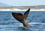 Page-4----Whale---Credit--oversnap-Istock